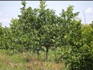 Vindem lot de pământ agricol ( livadă de nuci în rod și o fâșie de pământ )