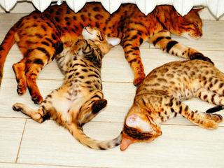 550 лей в месяц. bengal. Бенгальские клубные котята, из официального питомника. все документы!