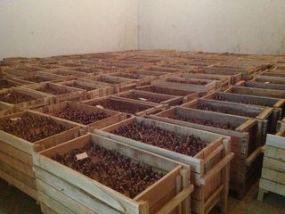 """Саженцы грецкого ореха сорта """"Чандлер"""". Самый урожайный сорт ореха в мире."""