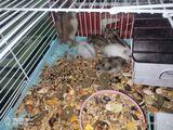 Hamsteri gratis