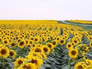 Cumpărăm floarea soarelu și porumbi în cantități mari. Transportul nostru la dispoziția dstră.