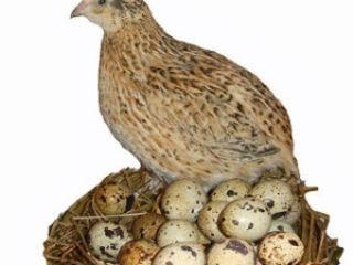 Яйца перепёлки, пищевые, инкубационные, от 13 до 15г