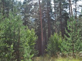 Великолепный участок 20 соток в заповедном лесу, рядом с озером у села Иванчя, окруженный соснами