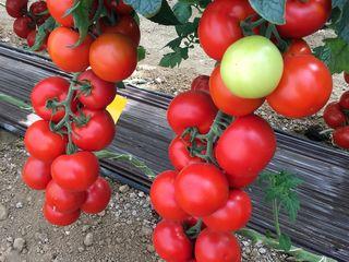 Semințe profesionale de roșii indeterminate Sakata