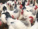 продаются петушки и цыплята