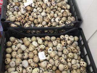 Oua de prepeliță pentru incubare de 2 rase