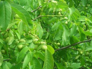 Продаются ореховый сад и пашня