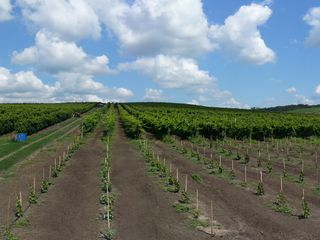 Срочно продам виноградник,  7 га виноградника Mолдова, дает полноценный урожай! площадь 7 га. 50 km