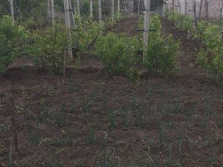 Новые Вадул луй Водэ 6 соток+проект на дом, ухоженный сад, газ, канализация, водопровод центральный.