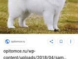 Белая собака как на фото