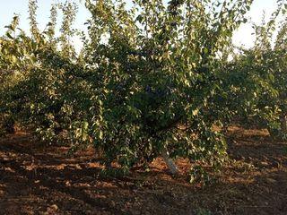 Livada de  prune (stenley)