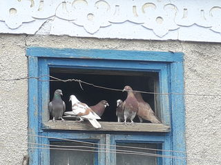 Porumbei diferite culori!