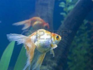 Золотые рыбки альбиносы скалярия нано кара гуппи  растения