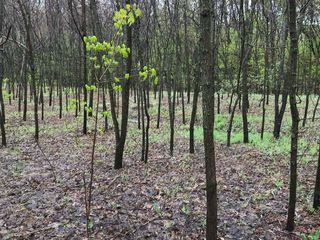 Vănd Pădure de salcăm în Călăraşi