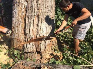 Taierea copacilor foarte mari si greu accesibil, lucru cu Cranul si Autoturn 34 m