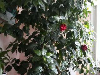 Chitaiscaea roza