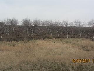 ореховый сад 1 км от города Бельцы в деревне Цапок Срочно