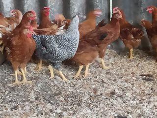 Продам цыплят французские венгерские серебристые