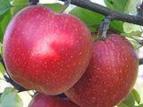 Cumparam mere: gala, florina, golden, generos. pentru export