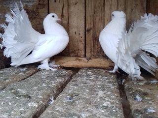 Vind porumbei rase diferite