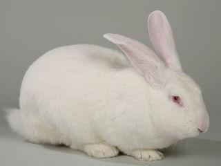 iepuri de prasil Hycole si carne de iepure