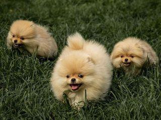Померанский шпиц. Pomeranian