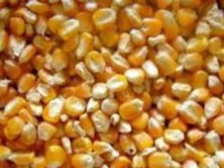 vând grăunte/кукуруза 2.20 лей