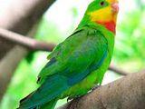Papagal baraband
