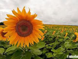 Cumparam orice tip de ulei ...floarea soarelui,soia,rapita,ulei folosit,amar ,murdar.etc...