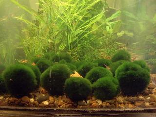 Cиамский водорослеед,Сом таракатум,Алый барбус,Mеченосец,Скалярии,Аквариумные растения,оборудование