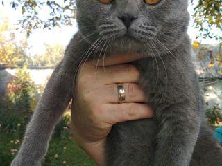 Шотландский вислоухий  кот  ищет кошечку для вязки