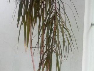 Пальма драцена 2 м.20 см.
