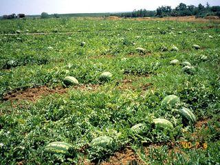 Seminte pepene verde(harbuz),pepene galben(zamos)