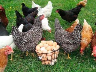 Oua de gaina pentru incubare 3 lei / Яйца куриные