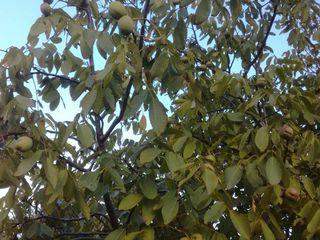 Ореховый сад.
