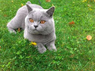 Клубный кот Bri a (британский голубой)