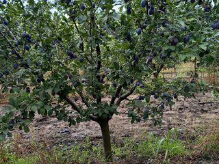 Продам сливовый сад 11 га (3500 евро / 1 га) Тодерешты Н. Анены