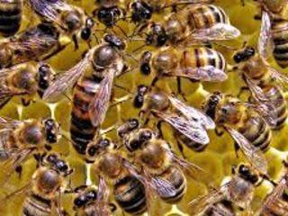 vindem familii albine