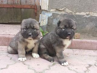 Продаются щенки кавказской овчарки из питомника