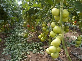 Seminte profesionale de legume pentru cultivarea in sere.