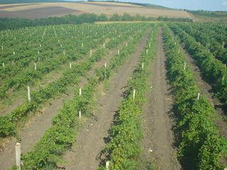 Vând 6,5 ha de teren plantat cu vie (soiuri: Victoria, Ialoveni ustoicevii) ! ! !