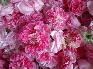 Чаиная роза