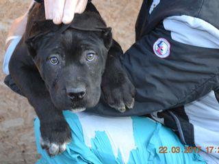 Предлагаем к продаже замечательных, чистокровных щенков Акита-Ину. Щенкам 2 месяца, ярко красного и