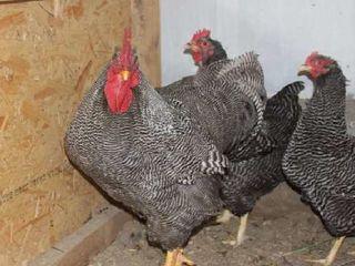 Яйца породистых кур!!!
