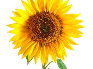 Cumpar floarea soarelui la Nord