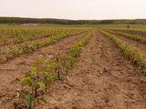 Pomi fructiferi pentru livezi direct de la producator