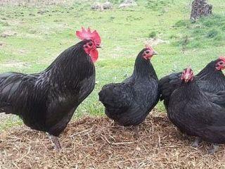 Vând ouă de rasă Australorp  pentru incubare