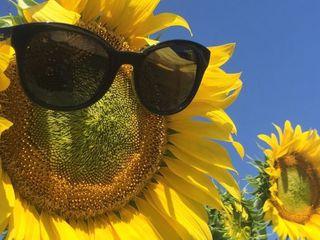 Vind floarea soarelui