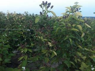 Plantatia de mure din EGORENI propune spre realizare fructe de mure foarte delicioase soiul Arapaho