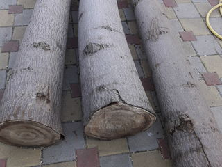 Vind 3 copaci de Paulownia